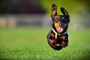 perro_corredor